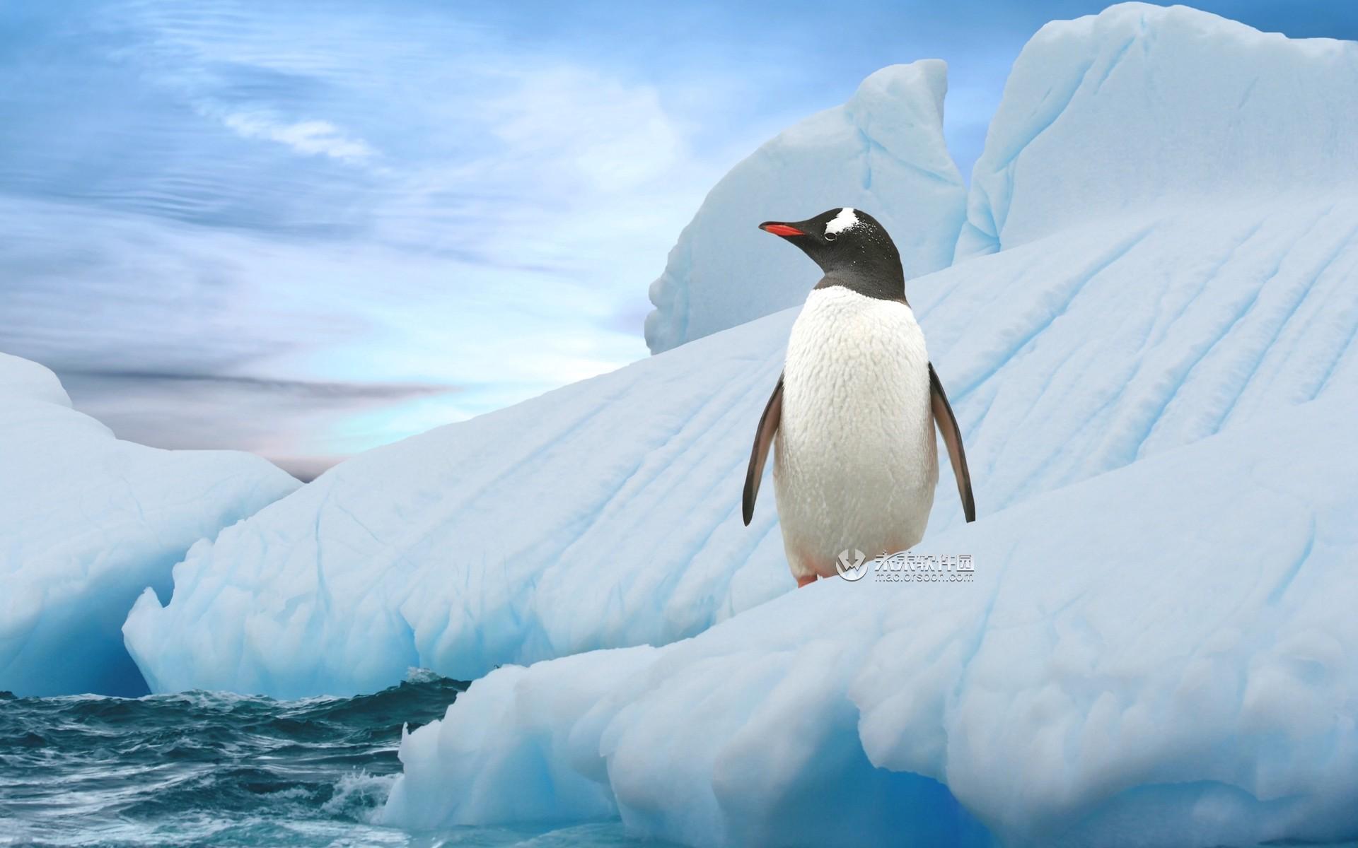 南极阿德利企鹅高清动态壁纸